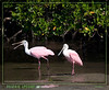 Roseate Spoonbills along the banks of the Big Marco River - Marco Island, FL