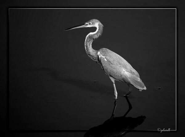 Black and White version of the Louisiana Heron or Tri-Color Heron...Black Point  Wildlife Drive, Merritt Island National Wildlife Refuge