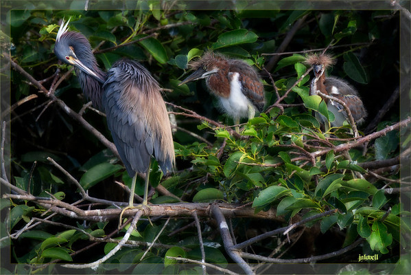 Elegant Louisiana Heron (Tri-color)  preening with its uncouth chicks looking on! The nesting colony has several tri-color nests...these siblings are of a slightly younger set than the previous pictures photographed on the same day.