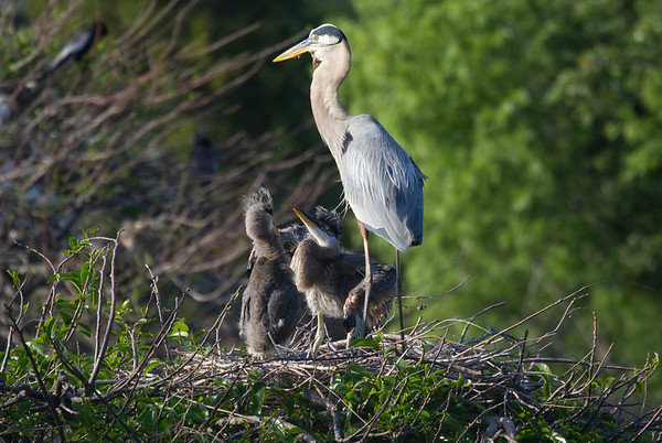 Hungry Great Blue Heron nestlings. I was disturbed seeing something protruding from beneath the parent bird's bill out of the neck thinking perhaps voracious youngsters pecked it open . As Great Blue Herons are reported to quadruple their consumption of food..fish..frogs..etc...while tending to their young I gather it is a case of something 'caught in its craw' which didn't go down and was forced out the neck lining. I saw this with another nesting adult previously and perhaps it is not an uncommon result of the volume of eating and regurgitation required to support the appetites of the chicks even though I found no specific mention in my reading thus far. A couple of pictures to follow show this as well. Its a wild world and yet I find it disturbing to see this elegant creature in such an inelegant condition.<br /> <br /> Follow up: I came to learn that the neck of this bird was damaged in the past and that sometimes what is visible is the bird's tongue as well as other things perhaps. I have utmost respect for the tenacity of nature that keeps this adult tending young each season despite its injury.