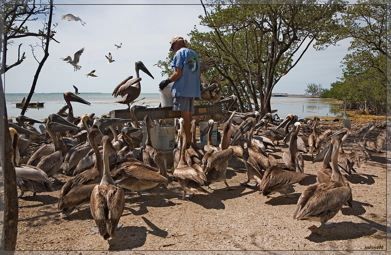 "Florida Keys Wild Bird Rehabilation Center at Feeding Time! Pelicans line up like school children impatiently waiting for their lunch. This organization has a most valuable mission in feeding and caring for the Florida birds and in sharing experience for the purpose of education in a very up close and personal way. Brown Pelicans in varying stages ...juveniles to nesting adults...share in the  bounty along with the egrets, herons and gulls flying in from around the neighborhood.<br /> <br /> Support the Center with your visits and  your donations  - the cause and the experience are both well worth it!! Here are a couple of articles about their plight!!<br /> <br />  <a href=""http://www.miamiherald.com/2009/11/18/1340980/florida-keys-wild-bird-center.html"">http://www.miamiherald.com/2009/11/18/1340980/florida-keys-wild-bird-center.html</a><br />  <a href=""http://cbs4.com/local/bird.sanctuary.wildlife.2.1271081.html"">http://cbs4.com/local/bird.sanctuary.wildlife.2.1271081.html</a>"