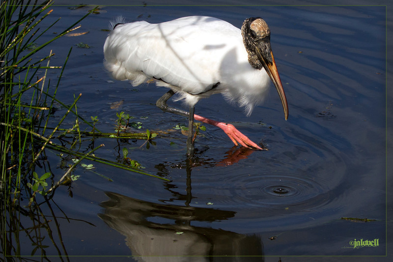 Woodstork wades and swishes its foot for food in the shallow marsh.