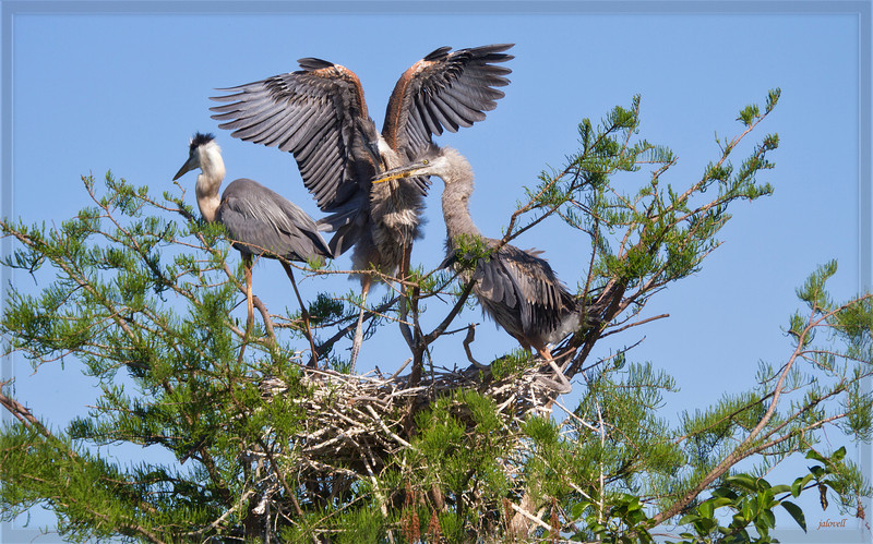 #7 Parent poised to leave the nest while nestlings have dined on some fish evidenced by bits  of food on their bills. According to Audubon a heronry can be a rather unpleasant place. The parents are so diligent about getting fish, frogs etc for their young that nests may have food in various stages of putrefaction in them. However, in this particular nest with all the competition by the hungry siblings, food left to spoil does not seem likely. Parents eat over 4 times their normal consumption to feed their voracious young. Ultimately, the young birds must fly off and feed on their own.