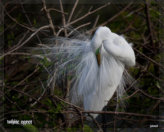 White Egret Preening - while Great White Egrets are not uncommon in South Florida it is always a treat to witness the spread of the gauzy ornamental back feathers they have during mating season -
