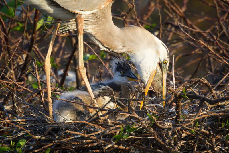 Here the Wurdemann's shows the fish she is preparing to digest for the chicks. First she seemed to be putting pressure on the fish perhaps squeezing fluids for her young. Later she swallows up the fish again for further processing. They feed the young by regurgitation of food they have gorged themselves on during the breeding season.