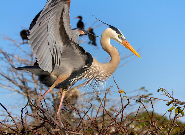 Great Blue Heron - The bird alights gracefully with head plumes flying in the wind.