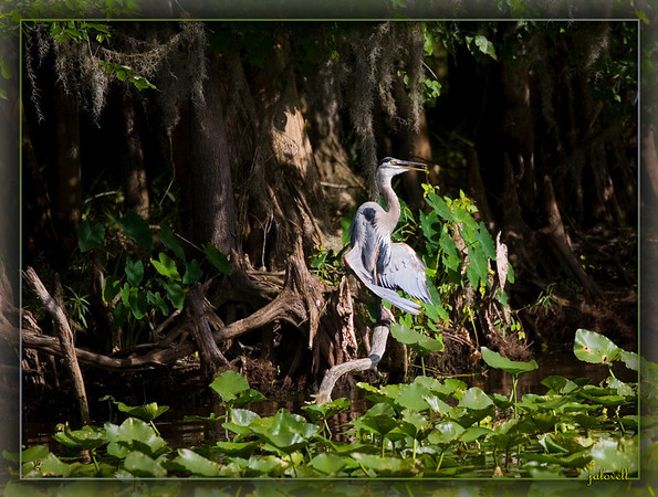 Blue Heron sunning amid the lush foliage of cypress trees and lily pads along the St. John's River....just downriver from Lake Monroe, Sanford, FL