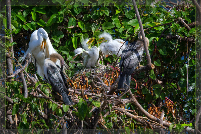 Fuzzy White Egret Chicks wobbling around the nest as their parent preens nearby