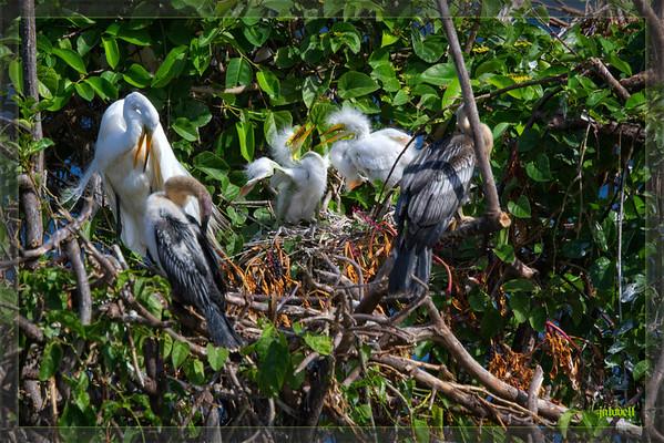 Fuzzy White Egret Chicks wobbling around the nest as their parent preens nearby