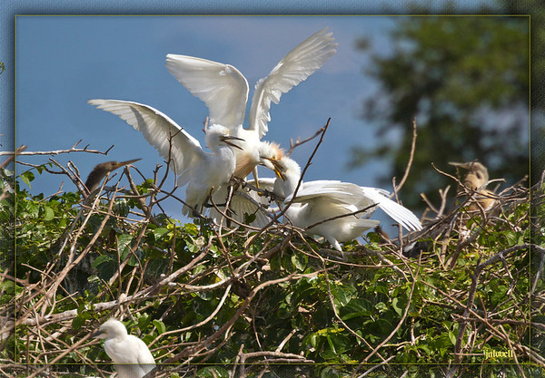 Cattle Egret Feeding Time...young clamp onto their parent's bill to receive a feeding