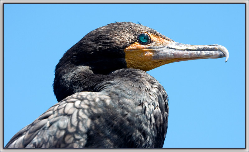 The Eye of the Double-Crested Cormorant....its turquoise depths brilliant in the morning sun!