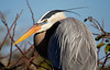 Great Blue Heron Profile-bright blue colored skin present around the fierce golden eye during nesting season makes a lovely contrast. The tinge of orange-red on the beak is only present in early in the mating season.