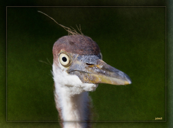 Fledgling Tri-color Heron (Louisiana Heron) in your face still sporting what remains of his youthful spiky hairdo.