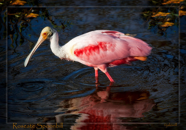 "Roseate Spoonbill searching the waters of the Wakodahatchee Wetlands of Delray Beach  Florida for food. <br /> <br /> The name Wakodahatchee is derived from the Seminole Indian Language and means  ""created waters."" Wakodahatchee consists of fifty acres of Palm Palm Beach utilities land which has been transformed into a man-made filtering marsh. This is a wonderful contribution to the area and attracts a wide variety of wild bird life, not to mention a gator or two. I highly recommend a visit as its extensive wooden walkway makes it easy to experience a natural wetland area and the beautiful birdlife it attracts. <br /> <br /> Learn More:<br />  <a href=""http://www.pbcgov.com/waterutilities/wakodahatchee/what_is_wakodahatchee.htm"">http://www.pbcgov.com/waterutilities/wakodahatchee/what_is_wakodahatchee.htm</a>"