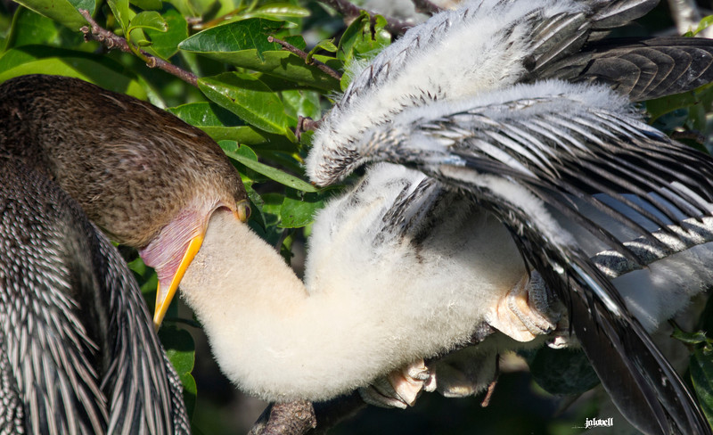 Young anhinga diving down its parent's throat for the fish. Typical feeding behavior but always interesting to observe.