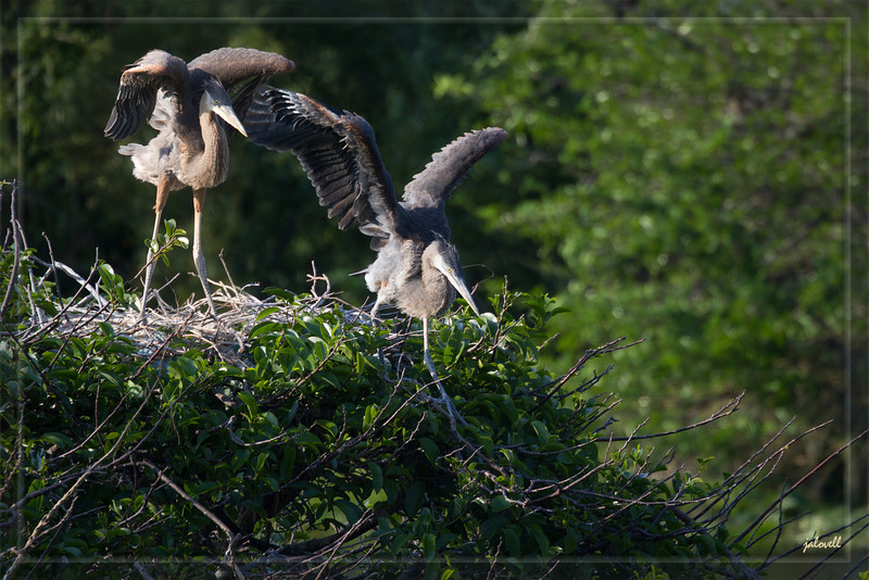 Two weeks later, another visit to my favourite nest and my favourite young blue herons. They appear to be testing their wings, catching the wind, exploring the rim of their nest and over the edge. Soon they will be official fledglings taking flight but not too far from the nest for a time. The development of the wings is beautiful to see. I particularly love the way the feathers seem to grow from the bluish quill parts looking very much like the inspiration for indian headdress. I am amazed each time I visit by how fast they grow becoming more graceful by the day.<br /> 3.27.2011