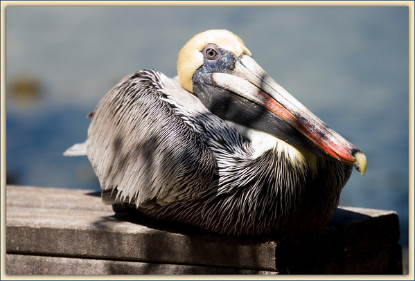 Brown Pelican resting in the shade...Key Largo, Florida