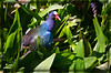 "Purple Gallinule in Pickerel Weed. I noticed that the Purple Gallinule likes to nibble on the flower of the pickerel weed and also noticed them nibbling on the flower of the fire flag plants. The flower shoots of the fire flag are loaded with bugs so the gallinule could get his veggies and protein in the same spot!! The irridescent colors of this less than common bird are marvelous in the sunlight!<br /> <br /> Here's a nice link on this bird: <a href=""http://www.nhptv.org/natureworks/purplegallinule.htm"">http://www.nhptv.org/natureworks/purplegallinule.htm</a>"