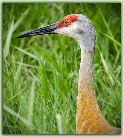 Sandhill Crane Face..........Central Florida roadside.....<br /> Could not resist pulling over when I spotted this bird. Although Sandhills are the commonest of the cranes the defined red patch at the front of the head and the beautiful, expressive red-orange eyes are remarkable.