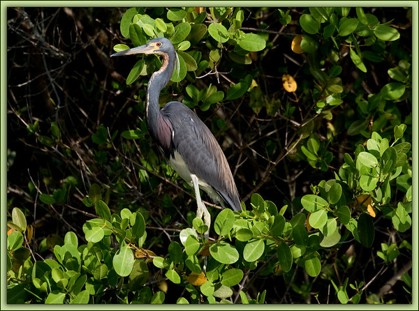 Louisiana or Tri-Color Heron: Ulumay Bird Preserve, Merritt Island, Florida