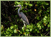 Louisiana or Tri-Color Heron: Ulumay Bird Preserve, Merritt Island, Florida