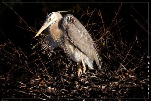 Wurdemann's Heron