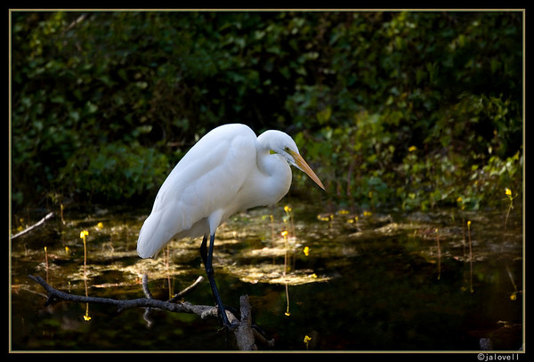 White Egret from the Tamiami Boardwalk peacefully occupied with searching the shallows for food.