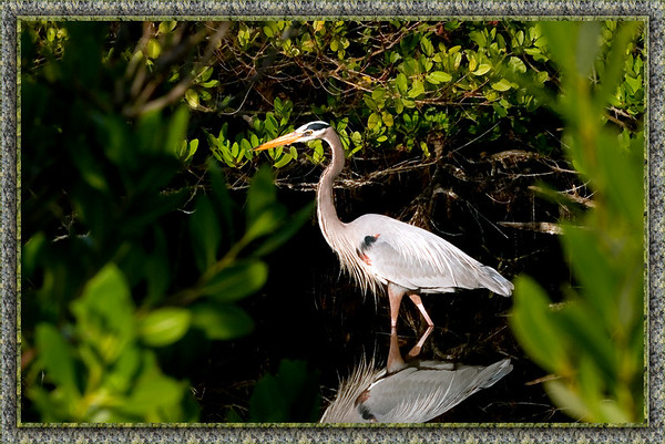 Great Blue Heron...Ulumay Bird Preserve, Merritt Island, Florida