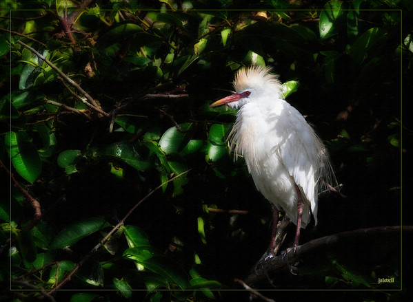 Cattle Egret in shadows-textured
