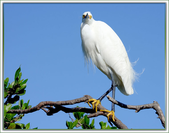 Snowy Egret...Key Largo, Florida