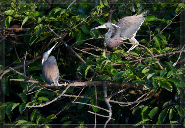 Tri-color Herons Interracting