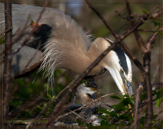 A more intimate maternal view of a Great Blue Heron tending to its nestlings through a tangle of branches..and a trio of yellow eyes.