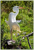Great White Heron...in his flasher pose..basking in the sun ...Key Largo, Florida