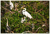 White Egret with its chicks in the center with the company of a young anhinga on the lower left, a Tri-Color Heron beneath the nest, Cattle Egret on its nest to the lower right, and on top is a pair of Snowy Egrets. Other shots in the gallery of the Tri-Color aka Louisiana Heron alone do not show how petite they really are. In this picture you can see one relative to the White Egret and the others. Tri-colors are very dainty looking.