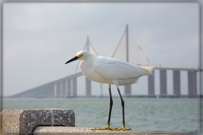 Snowy Egret standing on the remnant of the old St Pete bridge which is now a very nice fishing pier. The new Skyway Bridge which replaced it is in the background.