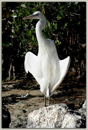 Great White Heron basking in the sun by the sea........Key Largo, Florida