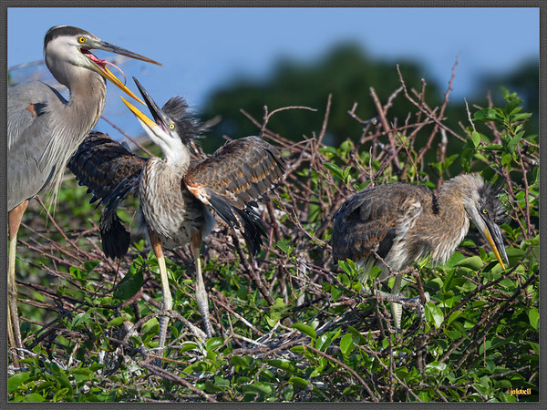Great Blue Heron feeds its hungry chicks, its pink tongue clearly in view. The larger sib has best access and the less dominant chick has been driven off to the side and its own devices.