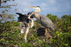 Chicks at the Great Blue and Wurdemann's Nest are hungry and growing fast.