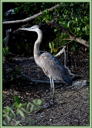 Immature Great Blue Heron in the soft morning light......Key Largo, Florida