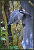 Yellow Crowned Night Heron<br /> Perched on a lichen and moss covered limb a Yellow Crowned Night Heron rests in a brightening CorkScrew Swamp on a rainy day.