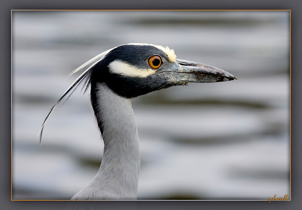 Yellow-crowned Night Heron Face