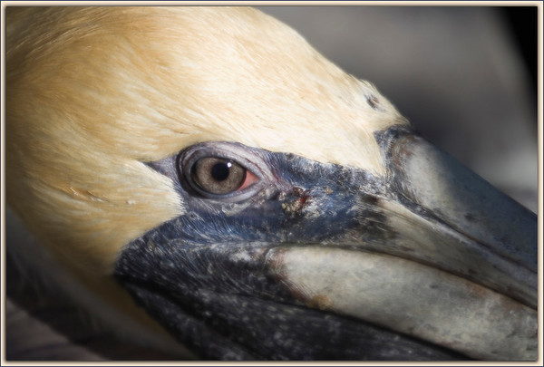 The Eye of the Brown Pelican...eerily human-like....Key Largo, Florida