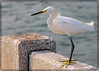 Snowy Egret at the old St. Petersburg bridge, now a fishing pier. Braving a stiff breeze, the bird is actually intently watching the fishermen and their bait buckets.