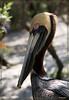 Adult Brown Pelican-Startling blue eyes, yellow head and brown patch down the back of the neck..hallmarks of a mature nesting brown pelican..rather stylish I think!!