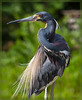 Louisiana Heron Portrait:  Elegant pose of one of my favourite herons taken at Wakodahatchee Wetlands. Breeding plumage and colors contrast with bright green sunlit foliage in the background. <br /> <br /> Taxonomy:<br /> <br /> Kingdom: Animalia <br /> <br /> Phylum: Chordata<br /> <br /> Class: Aves <br /> <br /> Order: Ciconiiformes <br /> <br /> Family: Ardeidae <br /> <br /> Genus: Egretta <br /> <br /> Species: Egretta tricolor