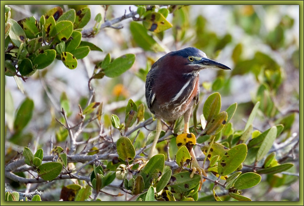 Little Green Heron: Merritt Island Wildlife Refuge along the Black Point Wildlife Drive