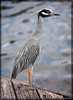 "Yellow-crowned Night-Heron:<br /> Nyctanassa violacea Order CICONIIFORMES - Family ARDEIDAE <br /> <br /> This small heron frequents the southern coastal areas and swamps of the US and is considered noctural. In the summer it breeds along the Atlantic coast from New York to Florida and along the large river systems in the central US to Kansas and Indiana. The summer range extends to South America. The Yellow-crowned Night-Heron is found along the Atlantic and Gulf coasts in the winter and is, in fact, a year round resident of Florida. This specimen was observed on sultry April morning on a dock near the ICW in NE Broward County, FL. <br /> <br />  <a href=""http://www.birds.cornell.edu/AllAboutBirds/BirdGuide/Yellow-crowned_Night-Heron_dtl.html#description"">http://www.birds.cornell.edu/AllAboutBirds/BirdGuide/Yellow-crowned_Night-Heron_dtl.html#description</a>"