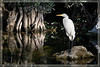 Great White Egret at Big Cypress Preserve in a tranquil morning scene with lovely reflections.