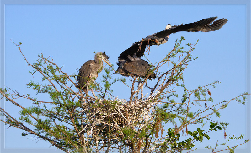 Kids squabble while mom departs - Great Blue Heron nest. Feeding is so strenuous.