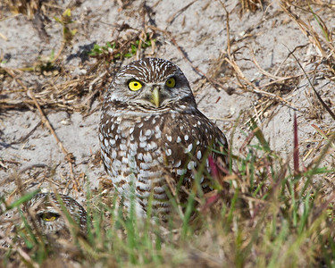 Florida-Burrowing Owl- Cape Coral